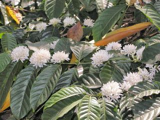 Chikmagalur coffee flowers