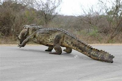 http://4.bp.blogspot.com/_UyiffDFtfIU/S9IHMeOae7I/AAAAAAAACts/Ydn2_iKrU7A/s1600/Aligator+eats+hog.JPG