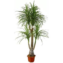 dracena,  planta, decoração, arvore