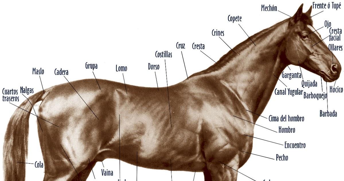 Todo Caballos y ponis: Anatomía del caballo