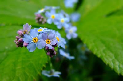 floare de nu-ma-uita detaliu