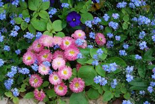 floare de nu-ma-uita si belis sau banuti