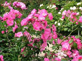 trandafiri minirose