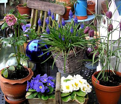 aranjament plante bulboase primula helleborus