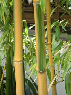 ingrijire bambus