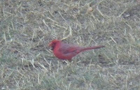 Cardinal in front yard