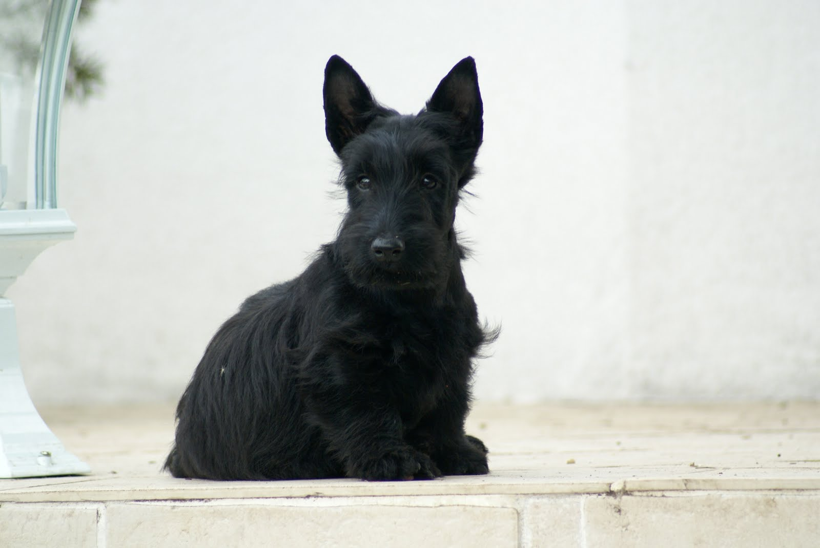 scottish terrier u 39 zara legend of highlands dieu cr a la femme et juste apr s le scott. Black Bedroom Furniture Sets. Home Design Ideas