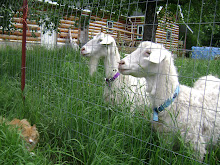 Pygora Goats
