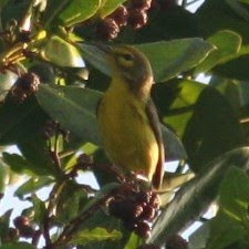 Adelaide's Warbler, Guanica, Puerto Rico