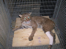 Oscar the Bobcat