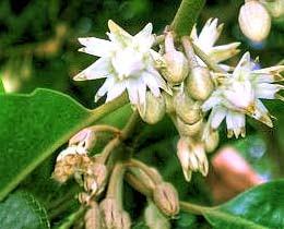 Khasiat dan Manfaat Bunga Tanjung (Mimusops Elengi)