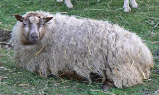 Bessie Relaxing before shearing time