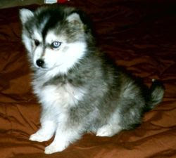Dog Breeders Site of the Philippines: Miniature Siberian Husky, todays ...