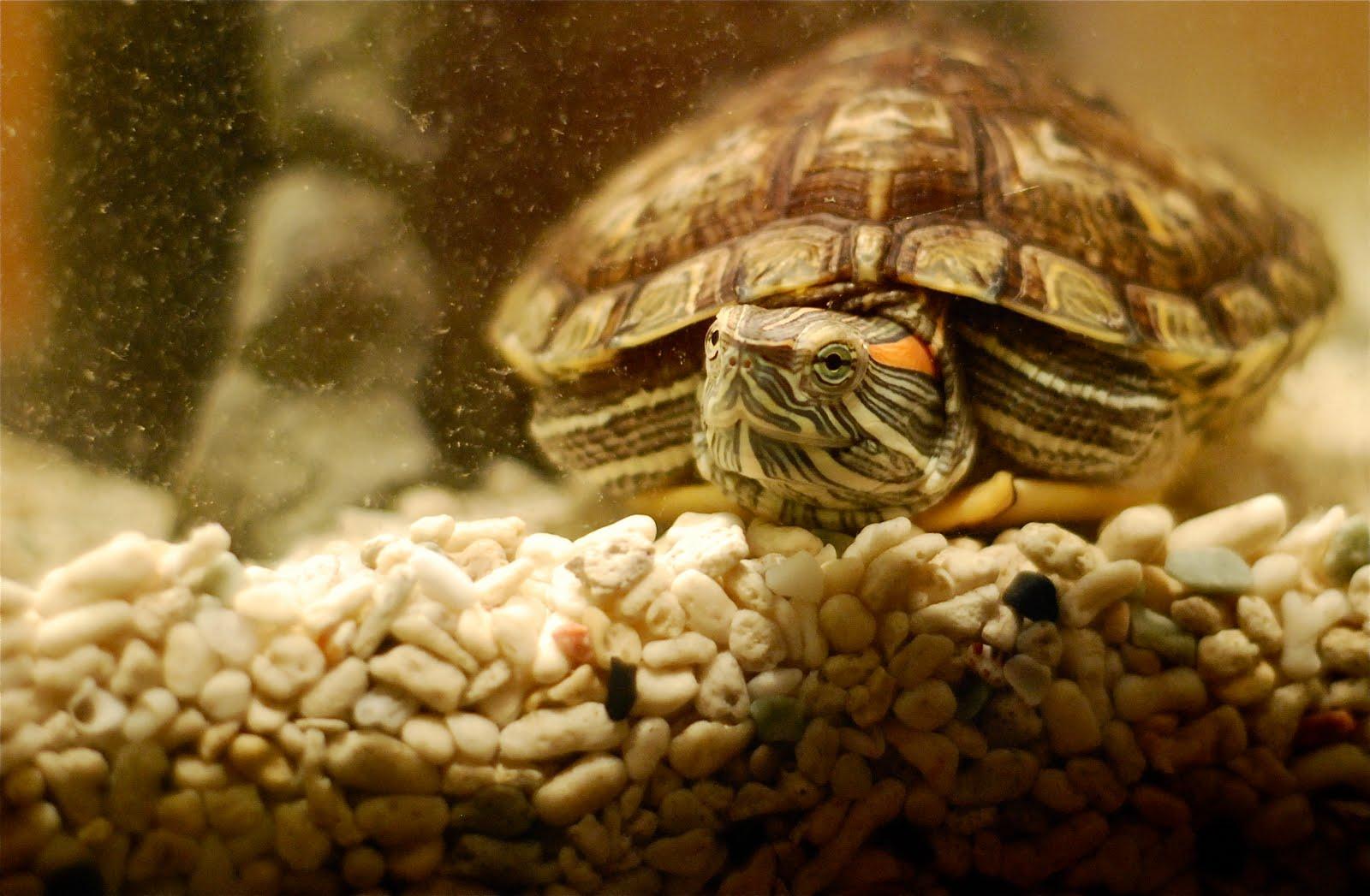 What To Feed My Pet Turtle : Genki Gaijin Girl: Mozuku Seaweed Harvesting (and My New Pet Turtle)