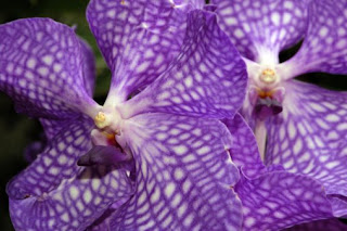 vanda+orchid June Jacobs Vanda Orchid Collection Giveaway!