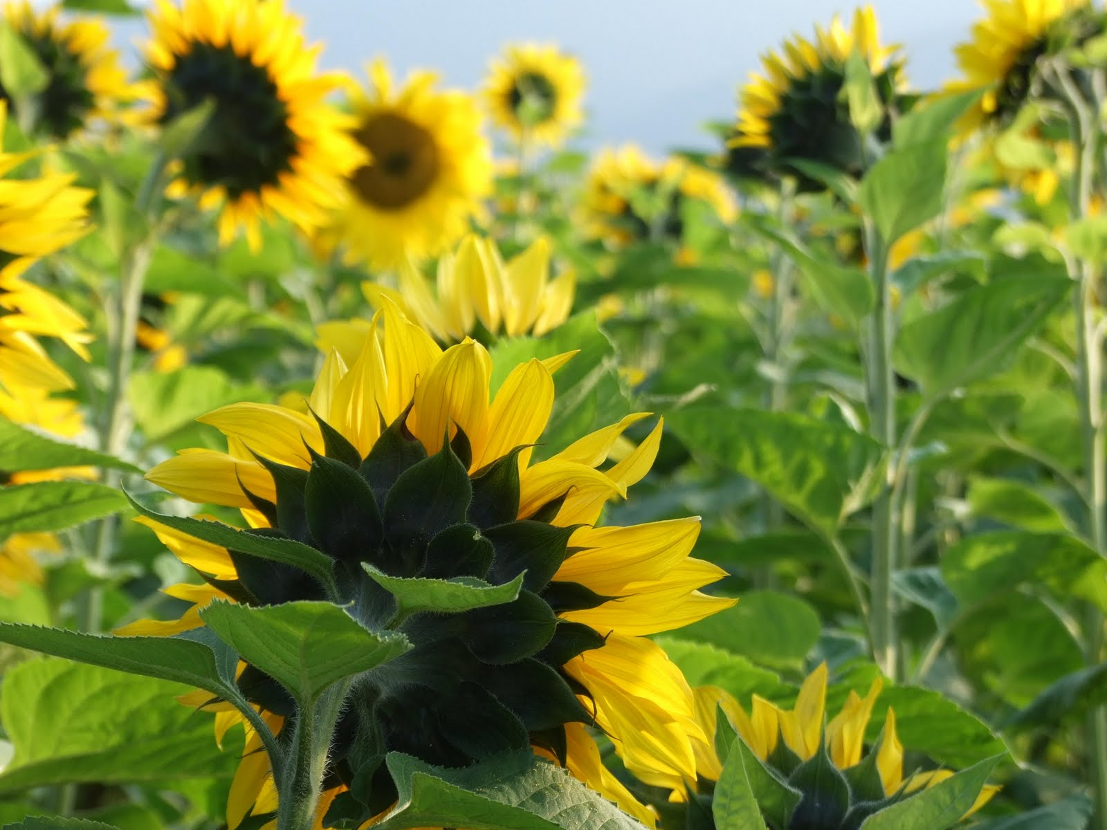 william blake ah sunflower Songs of experience-the sunflower ah, sunflower weary of time, who countest the steps of the sun, seeking after that sweet golden clime where the traveller's.