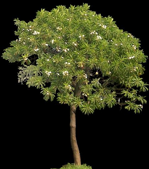 Tropical Plant Pictures Cerbera Manghas Sea Mango Tree