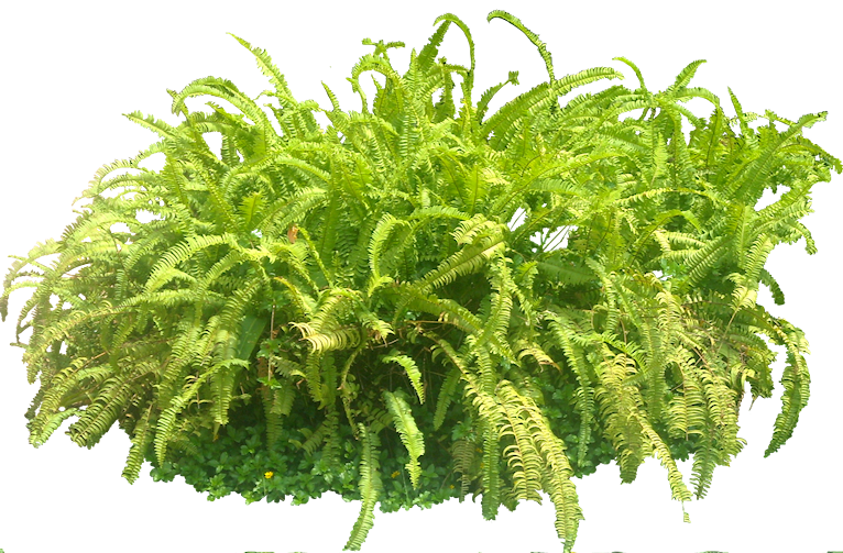 Tropical Plant Pictures: Nephrolepis sp (Sword fern)