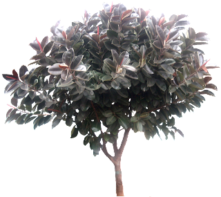 ficus elastica rubber fig
