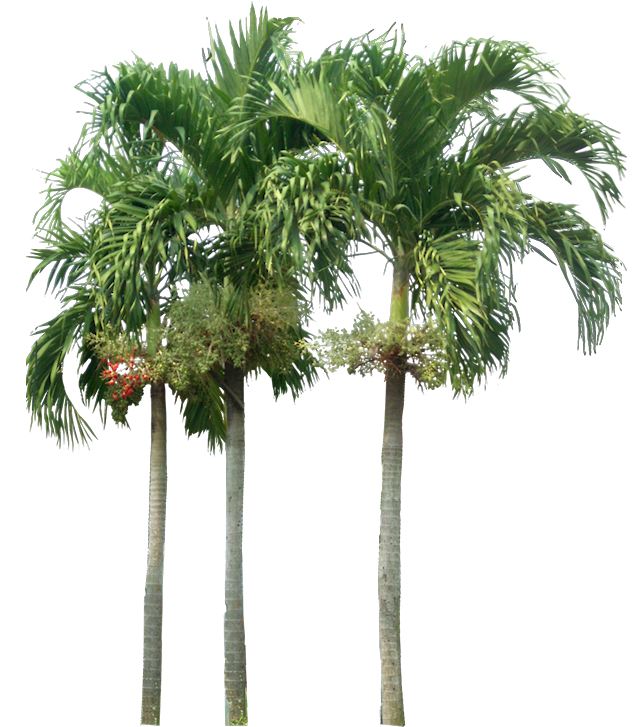 Tropical Plant Pictures: Veitchia merillii  Christmas Palm
