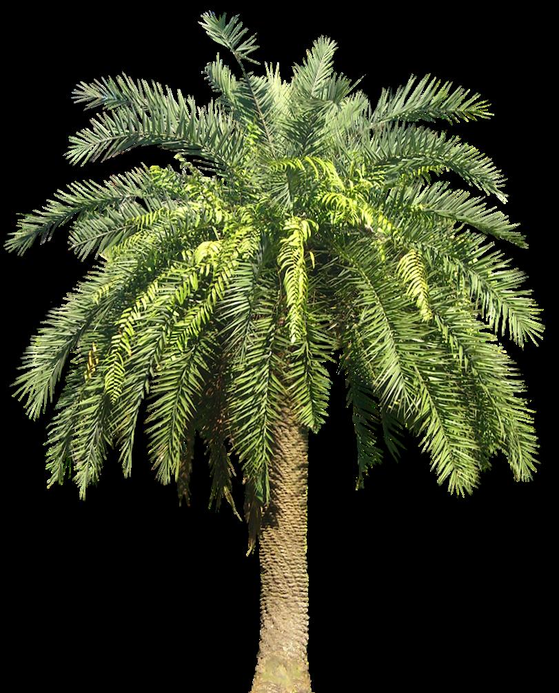 Tropical Plant Pictures: Phoenix loureirii Loureiro39;s Date Palm
