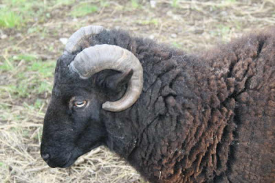 black Welsh mountain ram