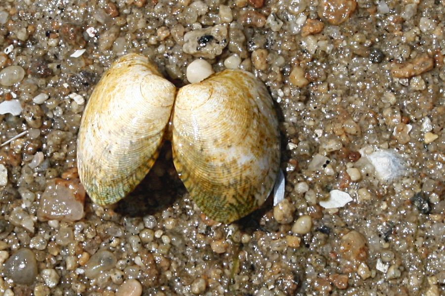bivalve shell on beach