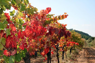row of vines changing colour