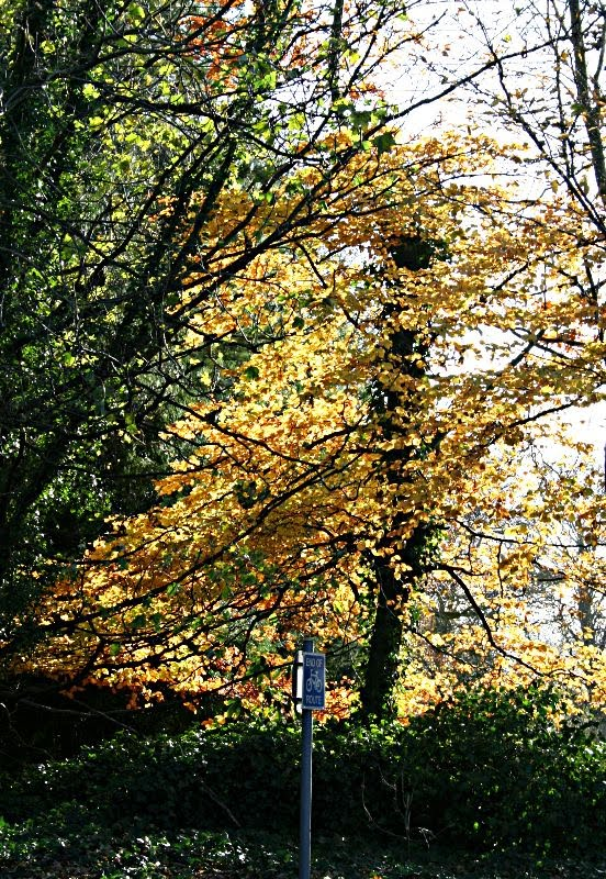 trees with golden leaves in the sun