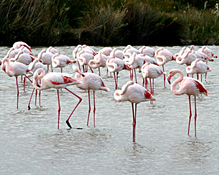 group of dozing flamingos