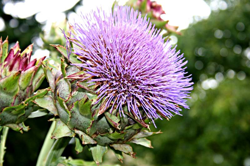cardoon, a giant thistle-like flower