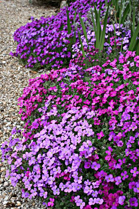 aubretia in various shades