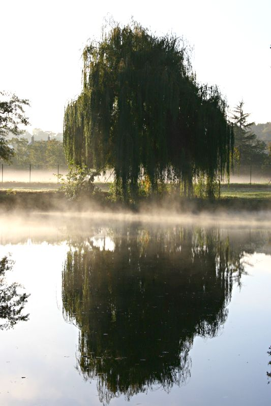willow and reflection in river with mist rising