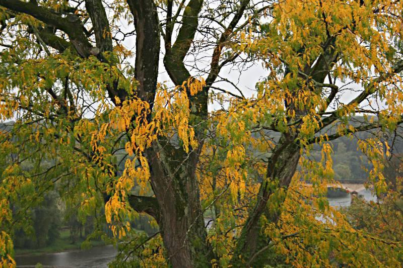 tree with leaves turning orange