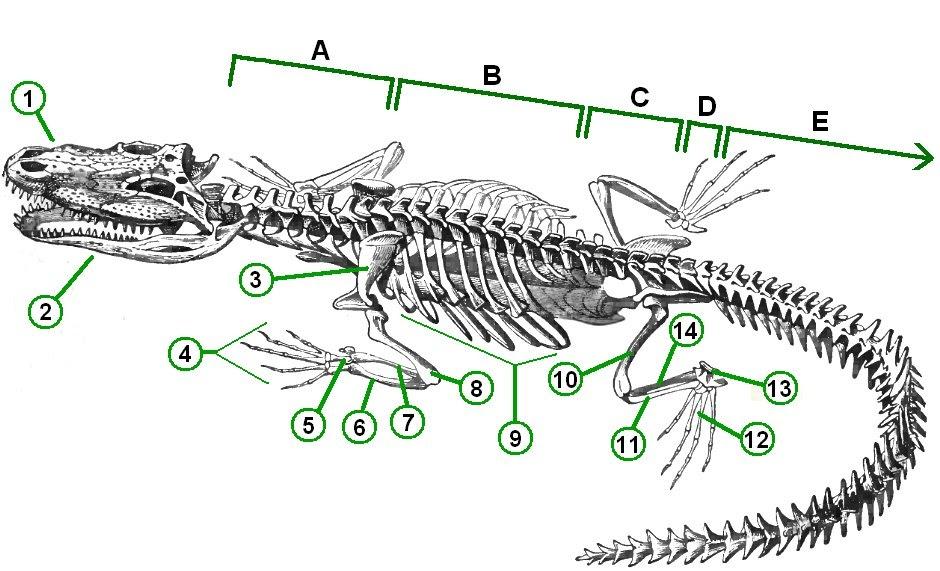 EL CUIDADOR DE COCODRILOS: Esqueleto del cocodrilo
