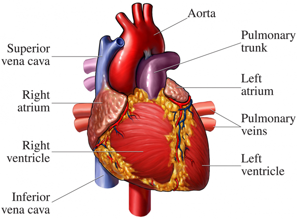 Location of the heart human cardiovascular system for Exterior of heart diagram