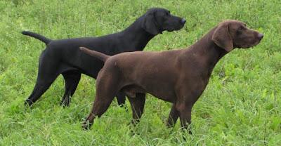 Brookeis & Bracos. Adiestramiento canino y Cetrería