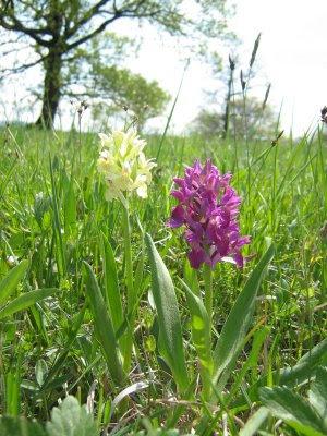 Dactylorhiza sambucina, Elder-flowered Orchid, prstnatec bezový