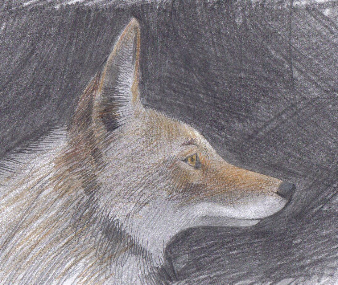 [coyote,cabeza.jpg]