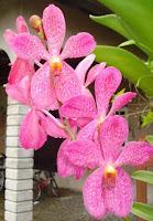 Orkid Mokara Pink