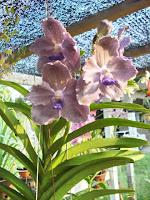 Orkid Vanda