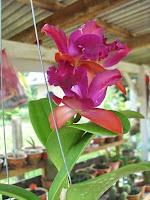 Cattleya Red