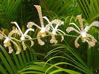 Orchid Scorpion