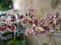 Oncidium Batik