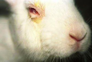 Conejo albino sometido a test Draize (Draize Eye Test).