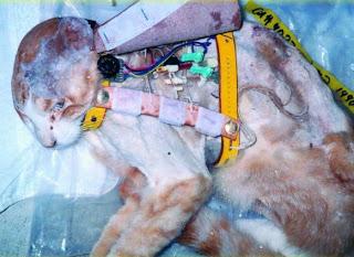 Gato sometido a experimentación - vivisección.