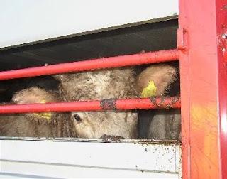 Transporte de vacas para consumo humano.