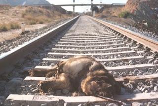 Foto sacada por trabajadores de un refugio de animales. El pastor alemán atropellado por el tren fue atado a la vía por su dueño para que no pudiera escapar de una muerte segura.