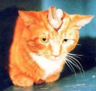 Gato adulto en laboratorio; los electrodos y tubos están insertados en su cerebro de forma permanente.