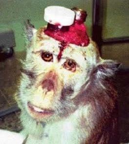 Mono que ha sufrido la inserción de electrodos en su cerebro.
